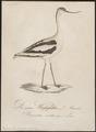 Recurvirostra avocetta - 1800-1812 - Print - Iconographia Zoologica - Special Collections University of Amsterdam - UBA01 IZ17400163.tif
