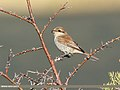 Red-backed Shrike (Lanius collurio) (27955244099).jpg