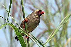 Red-billed quelea - And with a yellow wash on the head