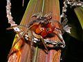 Red-clawed Land Crab (Geosesarma sp.) (8097786452).jpg
