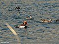 Red-crested Pochard (Netta rufina), Gadwall (Anas strepera) & Eurasian Coot (Fulica atra) (37506128580).jpg