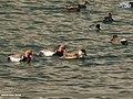 Red-crested Pochard (Netta rufina) (39100883984).jpg