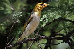 Red-headed Weaver, Anaplectes rubriceps at Marakele National Park, Limpopo Province, South Africa (female in breeding season) (16273944796).jpg