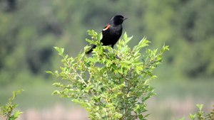 File:Red-winged-blackbird-mvnwr-alarm.ogv