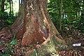 Red Cedar - Mount Keira.jpg