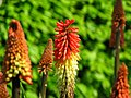 Red Hot Poker, Carnfunnock Country Park - geograph.org.uk - 797974.jpg