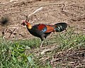 Red Junglefowl (Gallus gallus) (21646806011).jpg