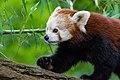 Red Panda (23648040708).jpg