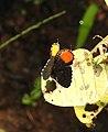 Red Pierrot Talicada nyseus UP by Dr. Raju Kasambe DSCN9202 (2).jpg