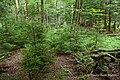 Red Spruce Understory (6806821775).jpg