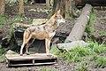 Red Wolf (16732680418).jpg
