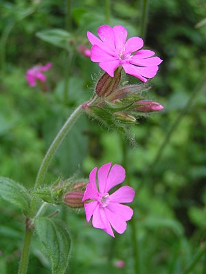 Caryophyllaceae - Silene dioica