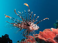 Red lionfish near Gilli Banta Island.JPG