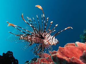 Red lionfish - Red lionfish in Indonesia