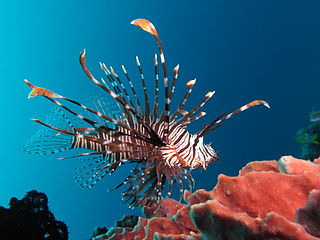 <i>Pterois</i> genus of venomous fish