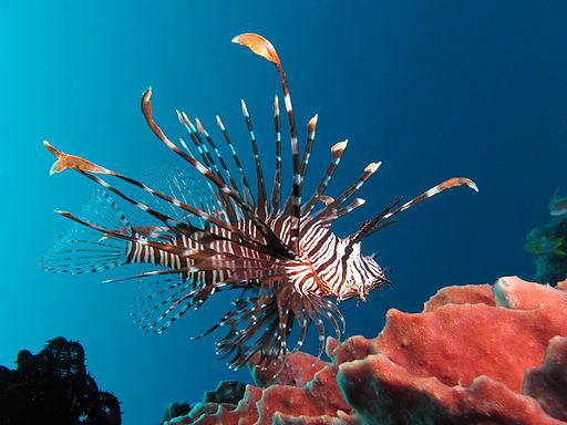 Red lionfish near Gilli Banta Island