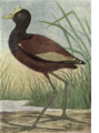 Reed-mexican-jacana.png