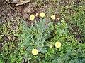 Reichardia ligulata (Barlovento) 02 ies.jpg