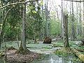 Rezerwat ścisły w Puszczy Białowieskiej.jpg