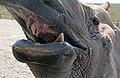 Rhino dental work (2917722116).jpg