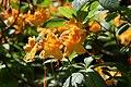 Rhododendron Aromi Sunrise 2zz.jpg