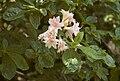 Rhododendron Raphael De Smet B.jpg