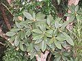 Rhododendron arboreum Smith ssp. nilagiricum at Mannavan Shola, Anamudi Shola National Park, Kerala (5).jpg