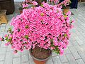 Rhododendron in Mount Wutong of Shenzhen, picture4.jpg