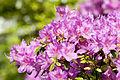 Rhododendron vykianum hybrid.jpg
