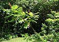 Rhus sandwicensis (5210103410) (2).jpg