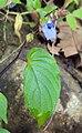Rhynchoglossum obliquum 34.JPG