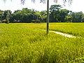 Rice growing at village.JPG