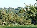Ripening Apples, near Burwash - geograph.org.uk - 227548.jpg