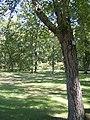 River Birch (Betula nigra) P9190058.jpg