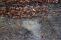 Roadside puddle on Sedgwick Lane, Nuthurst, West Sussex 01.jpg