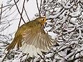 Robin in Flight (8398860133).jpg