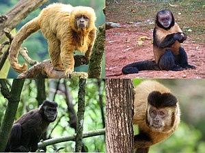 Four types of hooded capuchin, clockwise from top left: the golden capuchin (S. flavius), the yellow-breasted capuchin (S. xanthosternos), the back-stripe capuchin (S. libidinosus) and the black capuchin (S. nigritus)