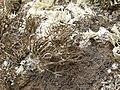 Rocella tinctoria - orseille - orchil - archil - Färberflechte - Fuerteventura - 04.jpg