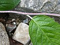 Rock Whitebeam-twig.jpg