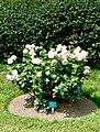 Rosa 'Eden 85' Rosengarten Köln 2017 12.jpg