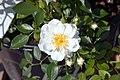 Rosa Blossom Blanket 0zz.jpg