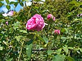 Rosa Louise Odier 2018-07-10 5310.jpg