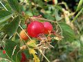 Rosa glutinosa lepljiva ruza.jpg