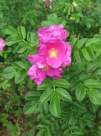 Rosa rugosa Tokyo.JPG