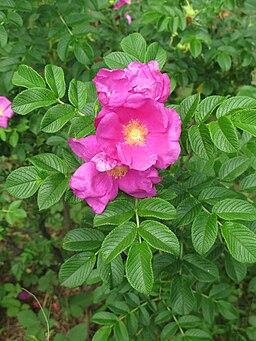 Rosa rugosa Tokyo