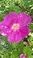 Rosa rugosa inflorescence (15).jpg