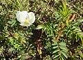 Rosa spinosissima inflorescence (35).jpg