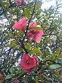 Rosales - Chaenomeles japonica - 2.jpg