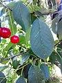 Rosales - Prunus cerasus 5.jpg