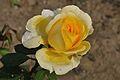 Rose - Kolkata 2011-12-20 7629.JPG